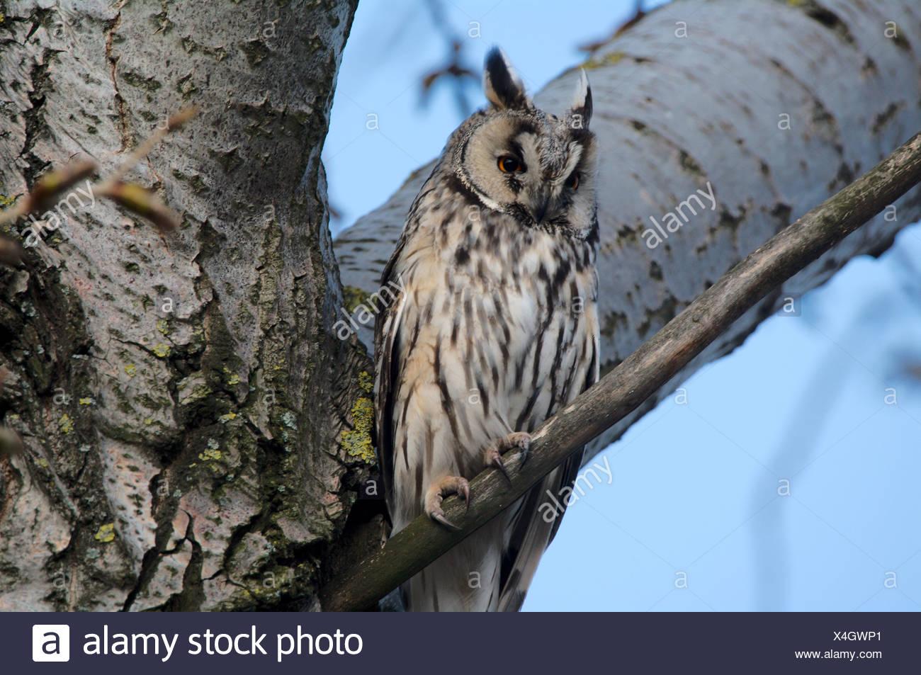 Austria, Europe, Burgenland, bird, birds songbird, owl, long-eared owl, forest, young birds, tree - Stock Image