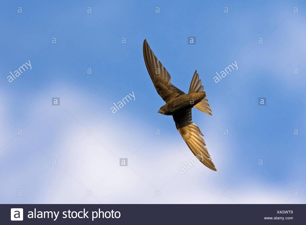 Eurasian swift (Apus apus), in flight, from below, Germany, Baden-Wuerttemberg - Stock Image