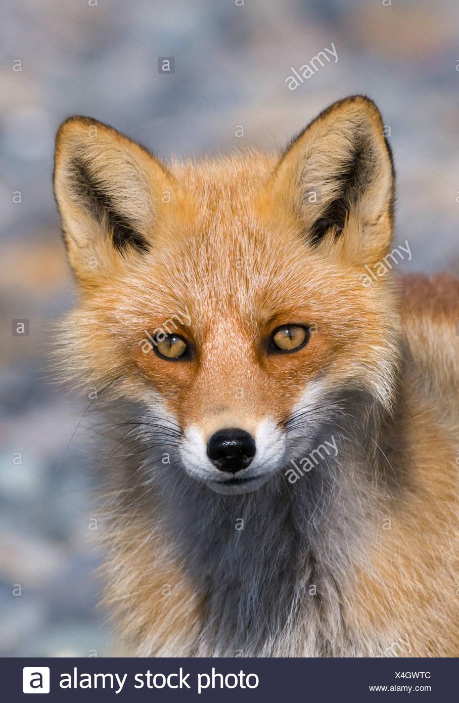 Red Fox Vulpes vulpes Hokkaido Japan - Stock Image