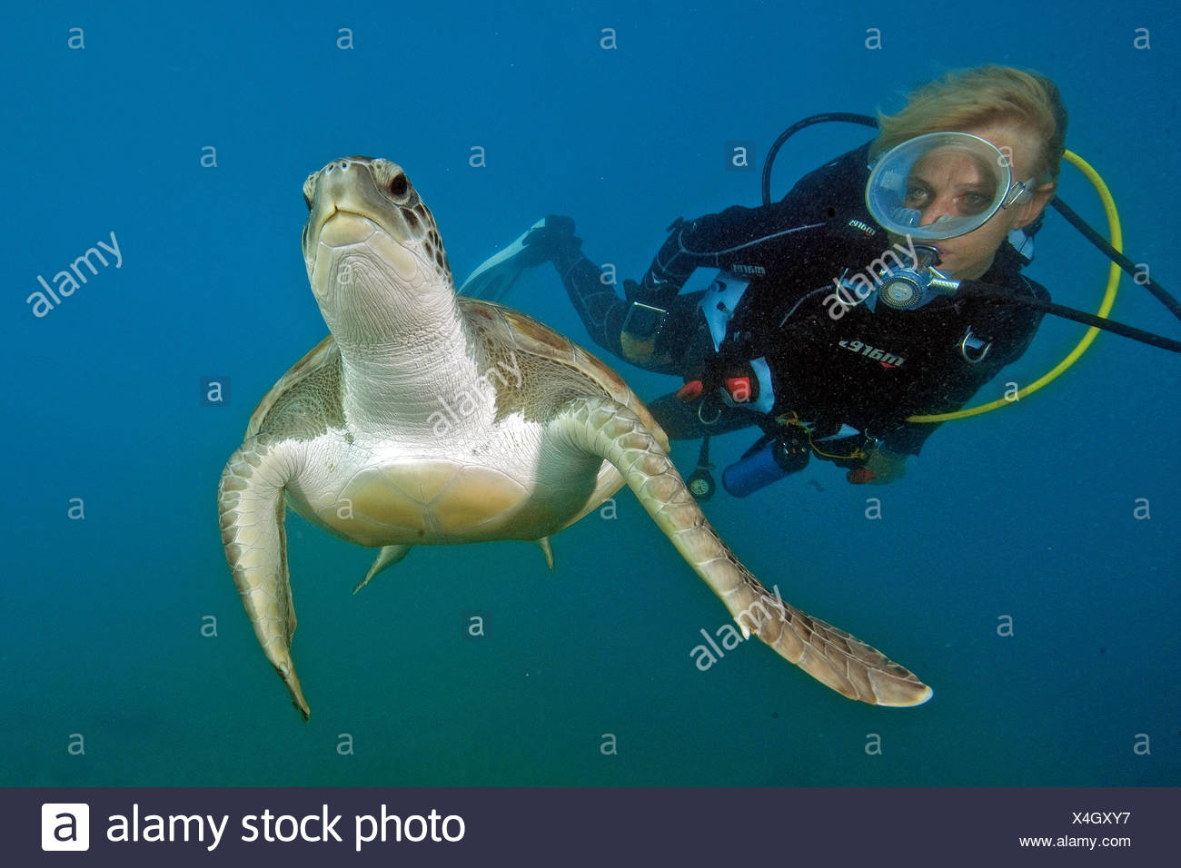 diver and hawksbill sea turtle, Canary Islands, Spain, Europe, Atlantic / (Eretmochelys imbricata) Stock Photo