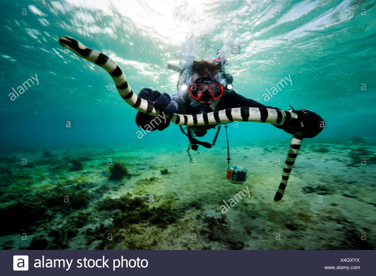 A venom expert grabs a yellow-lipped sea krait in Fijian waters. - Stock Image