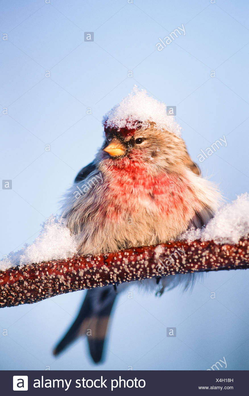 Alaska. Big Lake. Redpoll (Carduelis flammes). - Stock Image