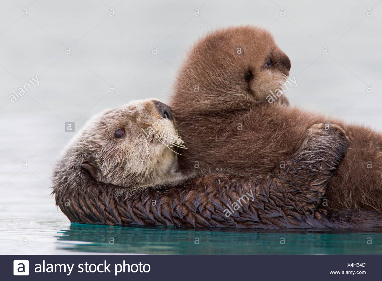 Female Sea otter holding newborn pup out of water, Prince William Sound, Southcentral Alaska, Winter - Stock Image