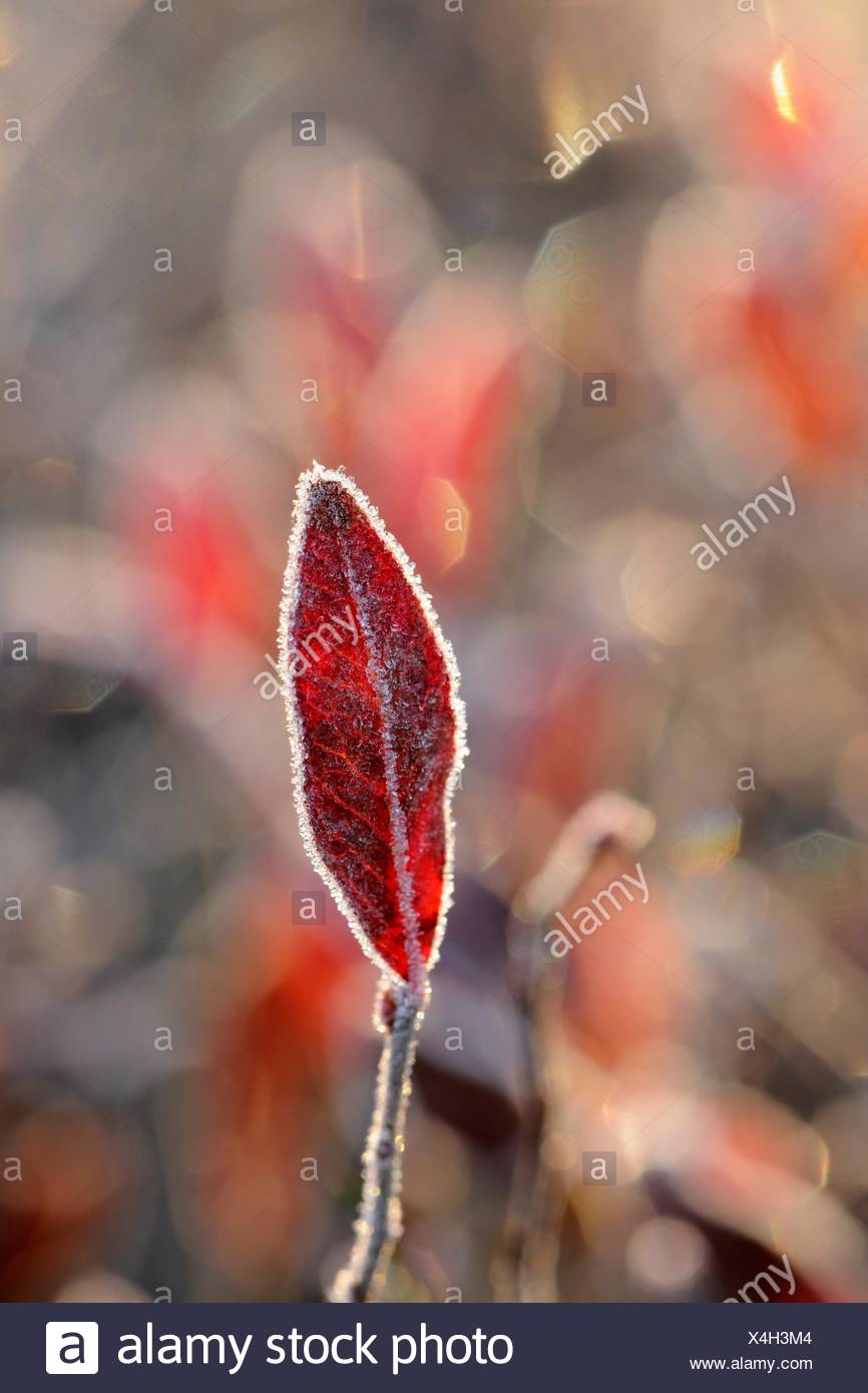 Lowbush Blueberry Vaccinium angustifolium Frosted autumn leaves Greater Sudbury Ontario - Stock Image