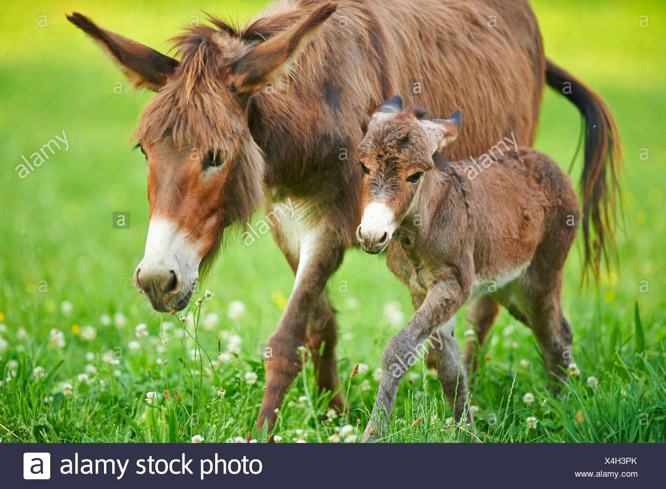 Domestic donkey (Equus asinus asinus), donkey foal with mother in a meadow, Germany - Stock Image