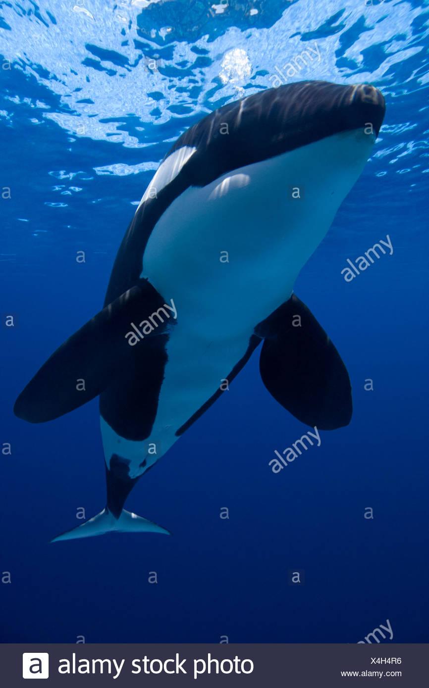Orca / Killer whale (Orcinus orca) blowing bubbles, captive, digital composite - Stock Image