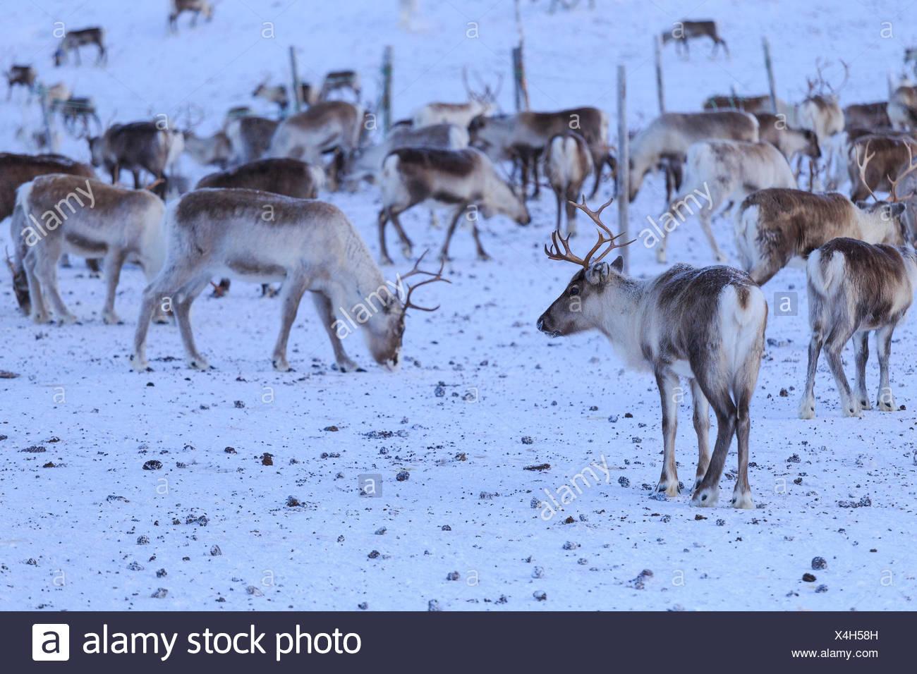 Reindeer grazing. Riskgransen, Norbottens Ian, Lapland, Sweden, Europe Stock Photo