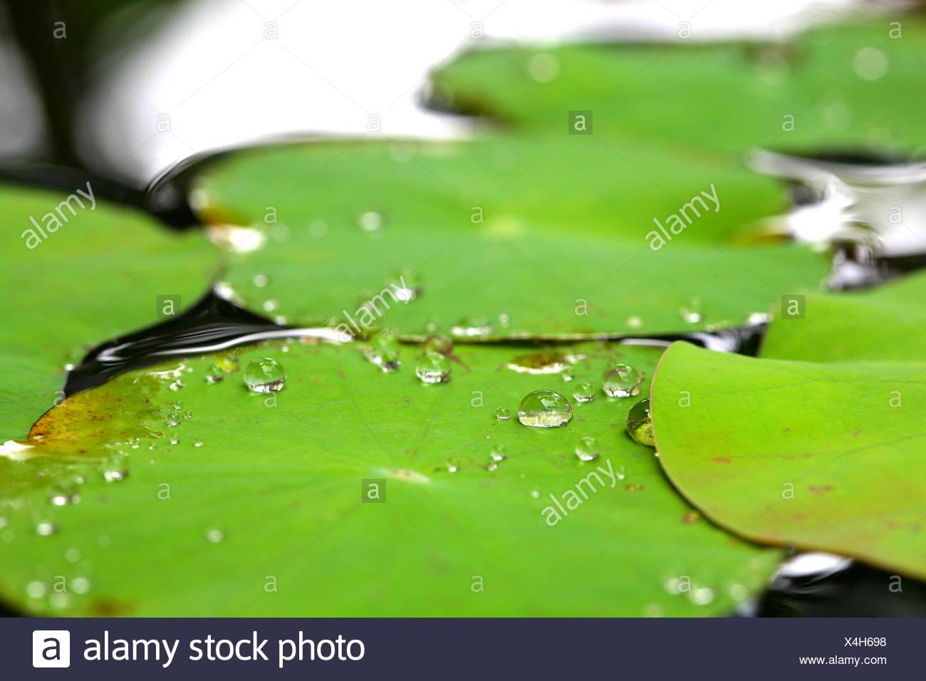 Lotus leaf - Stock Image