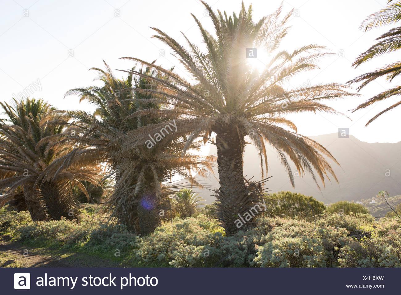 Sun shines between palm trees on La Gomera, Spain - Stock Image
