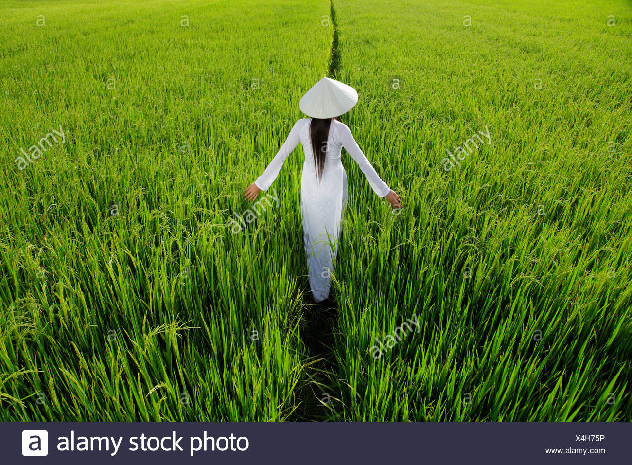 Rear view of woman wearing traditional Vietnamese outfit walking through a rice paddy - Stock Image