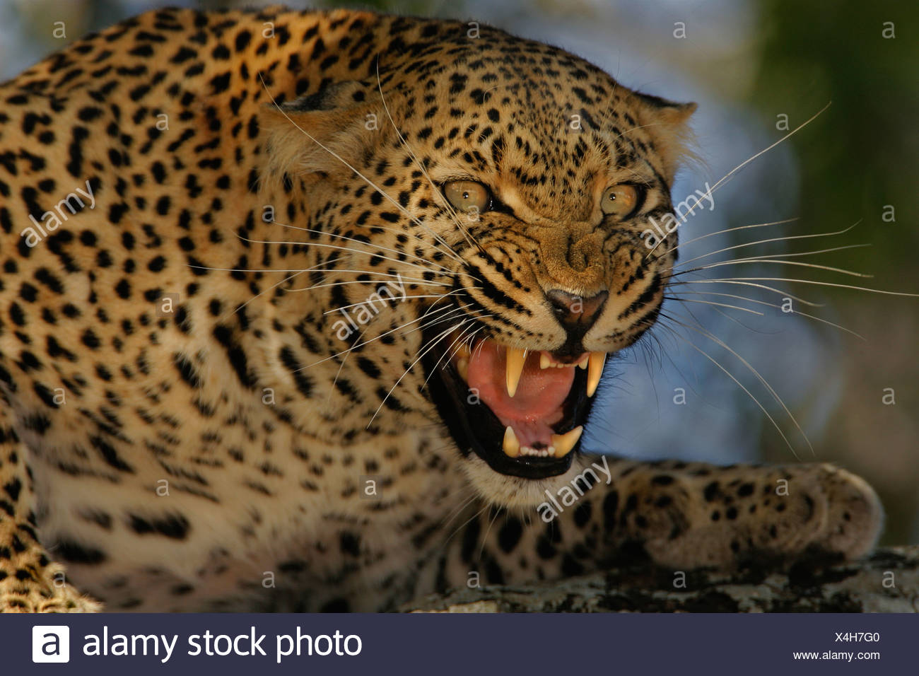 Leopard growling, Greater Kruger National Park, South Africa - Stock Image