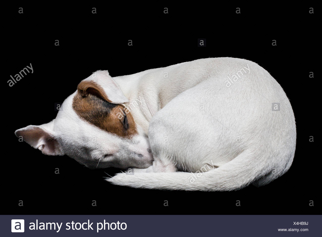 Portrait of a jack russell dog sleeping - Stock Image
