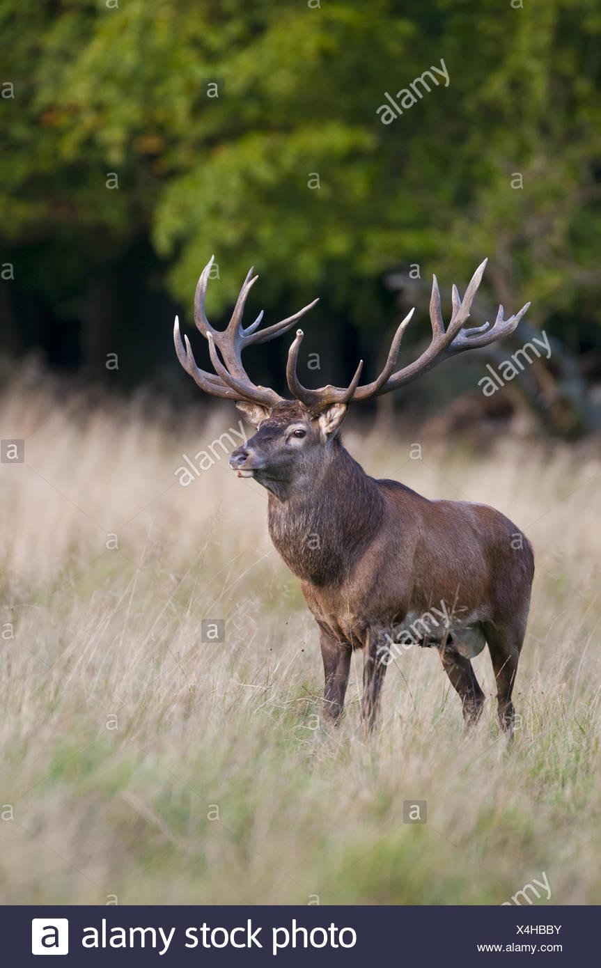 male red deer in rut, cervus elaphus, jaegersborg dyrehave, klampenborg, denmark - Stock Image