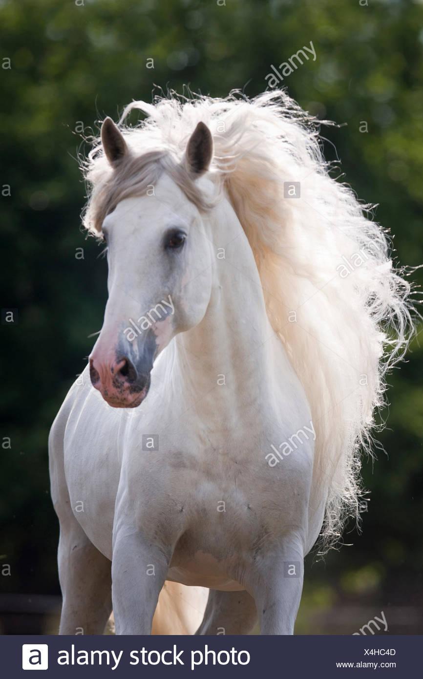 Pure Spanish Horse, Andalusian Portrait gray stallion Austria Stock Photo