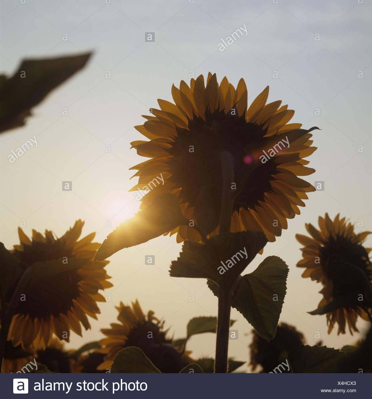 Sunflower flowers set against the orange colour of the rising sun France - Stock Image