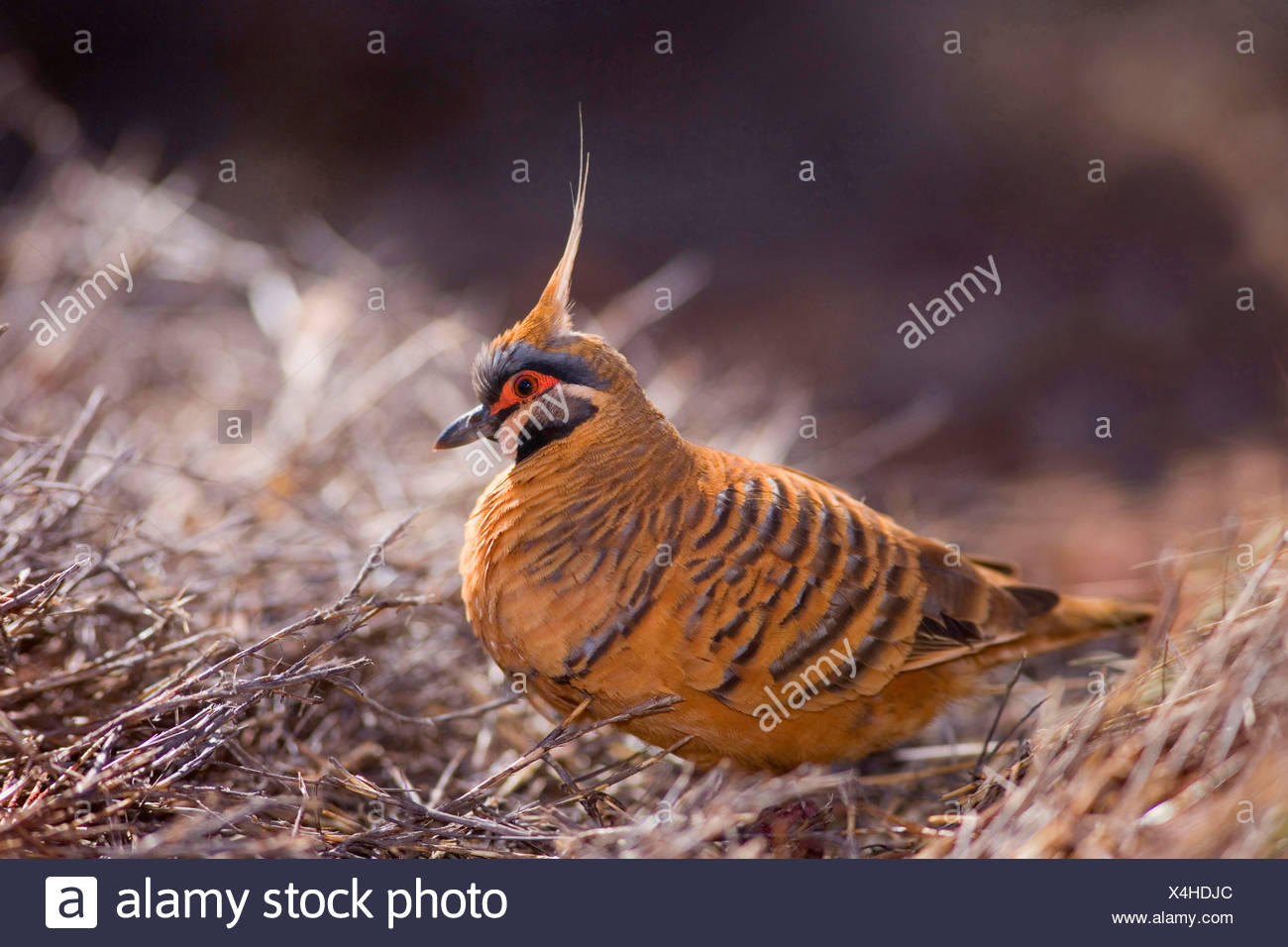 White-bellied Plumed Pigeon, Red-bellied Spinifex Pigeon  (Petrophassa plumifera ferruginea ), adult foraging for seeds amidst dried-up grass, Australia, Western Australia, Karijini National Park, Hamersley Range - Stock Image