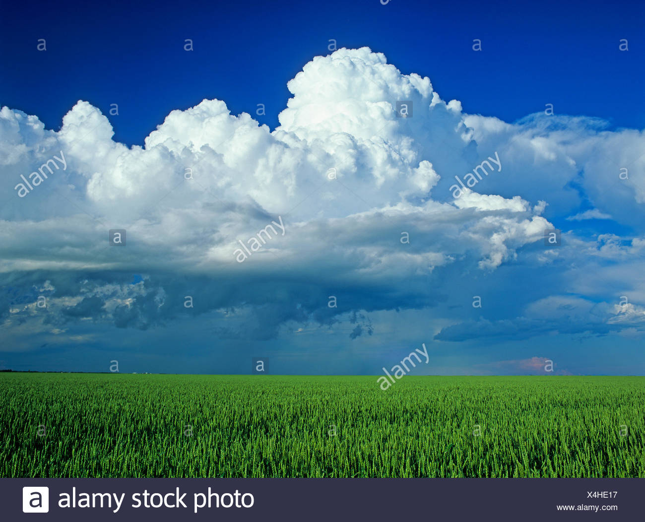 wheat field with a cumulonimbus cloud mass in the background near St. Pierre Joly, Manitoba, Canada - Stock Image