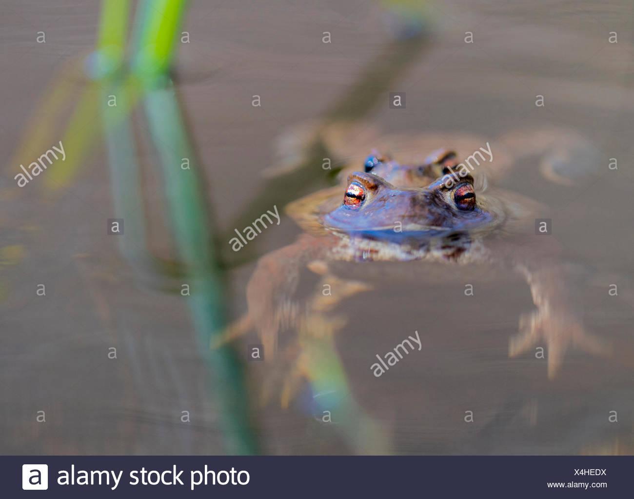 Erdkroete, Erd-Kroete (Bufo bufo), Paar an der Wasseroberflaeche, Norwegen | European common toad (Bufo bufo), couple at water s Stock Photo