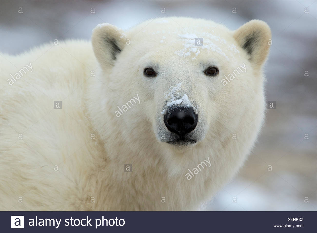The look of a polar bear trying to decide where to go next. - Stock Image