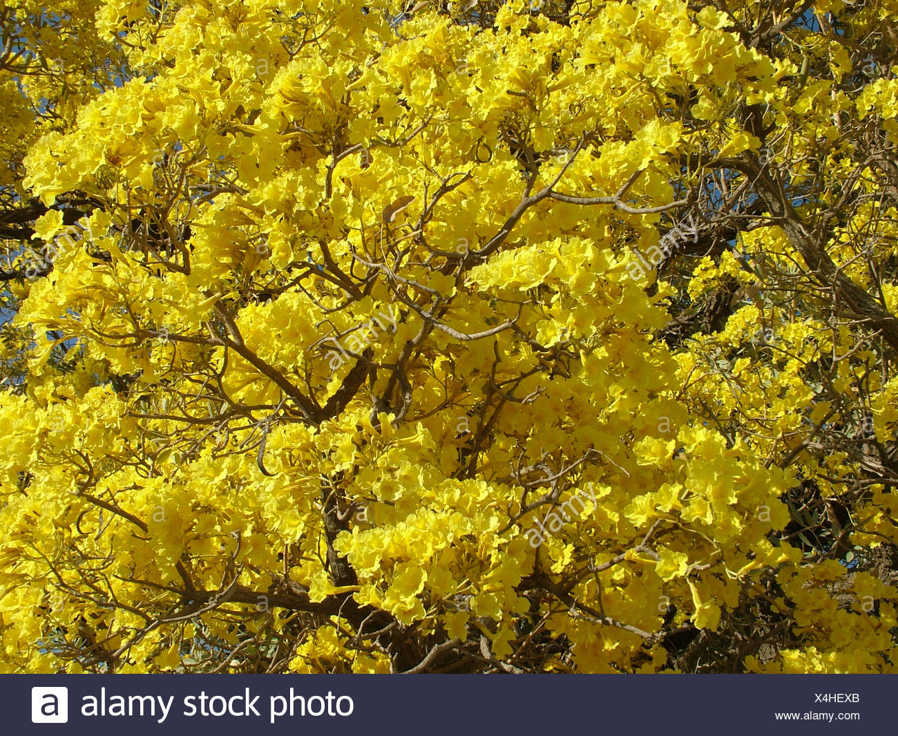 Close-up of the unbelievable mass of the yellow flowers of the Trumpet tree (Tabebuia caraiba), Gran Chaco, Paraguay - Stock Image
