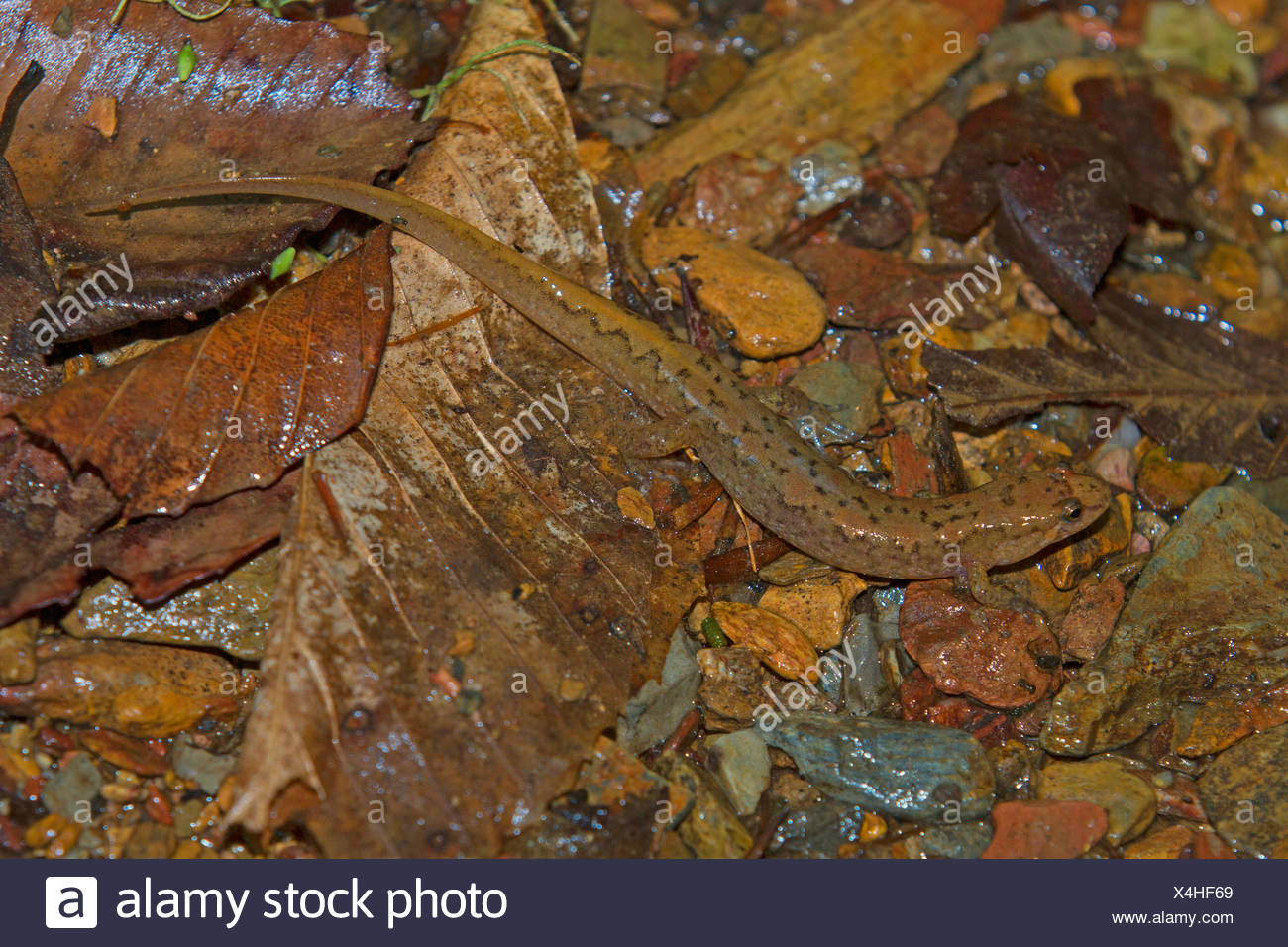 Seepage salamander  (cf. Desmognathus aeneus), on wet forest floor, USA, Tennessee, Great Smoky Mountains National Park - Stock Image