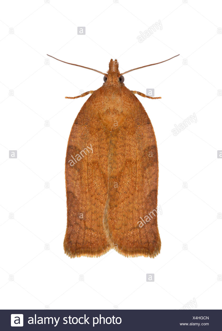 49.026 (0972) Dark Fruit-tree Tortrix - Pandemis heparana - Stock Image