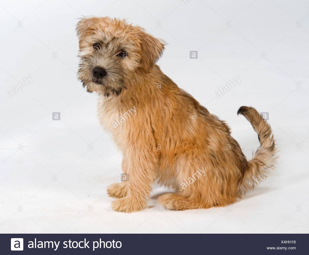 Tibetian Terrier Dog Sitting in studio UK - Stock Image