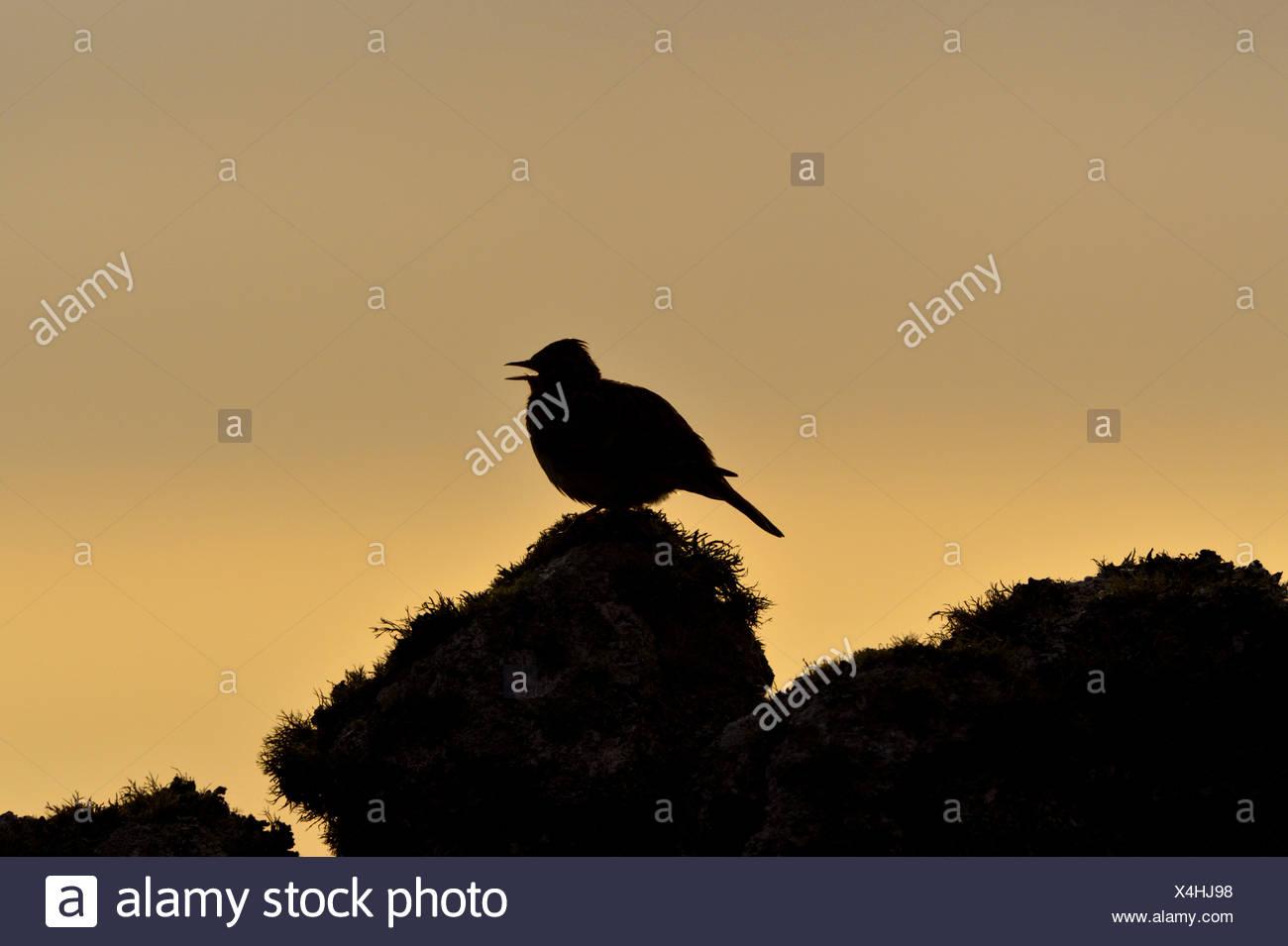 Skylark Alauda arvensis - Stock Image
