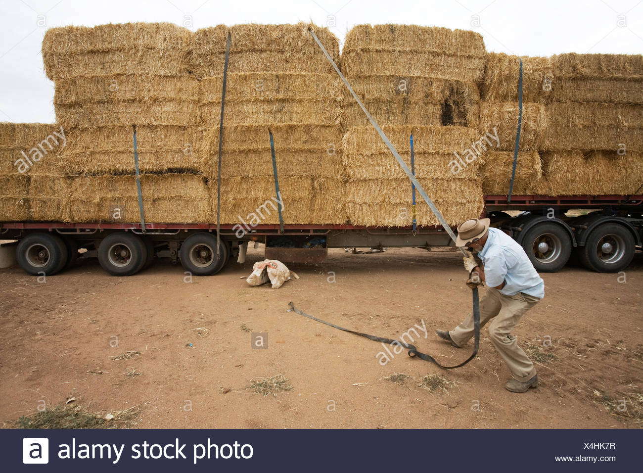 Hay bales are delivered to a dairy farm. - Stock Image