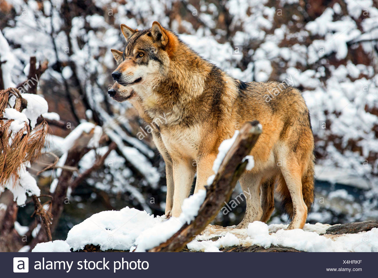 European gray wolf (Canis lupus lupus), two wolves securing, on overturned tree trunk in snowy landscape, Germany - Stock Image