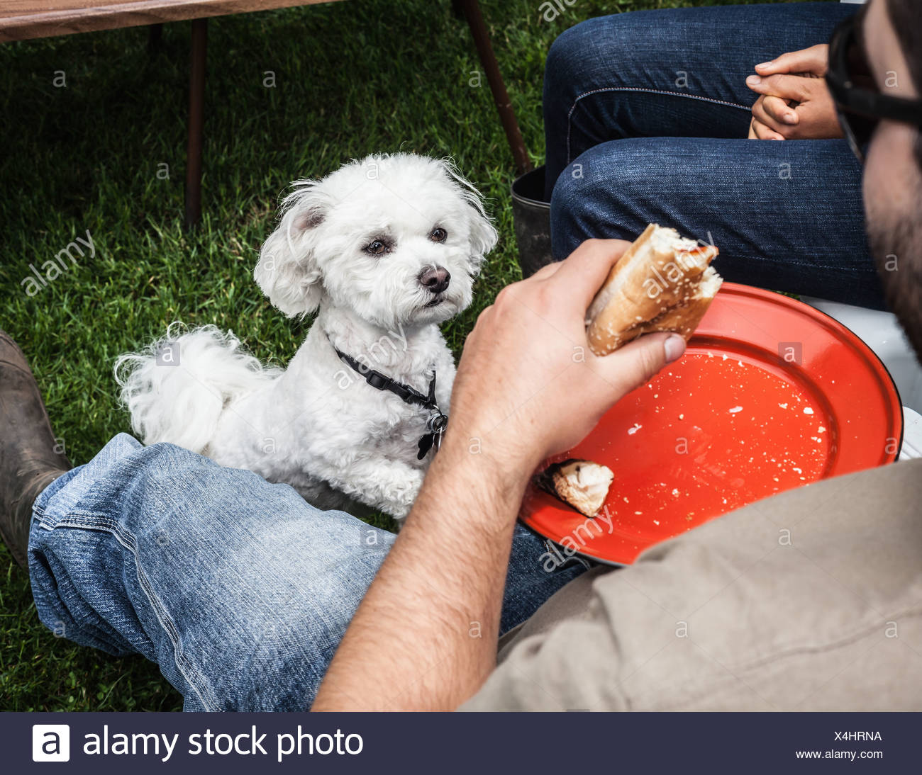 Dog begging for owners food - Stock Image