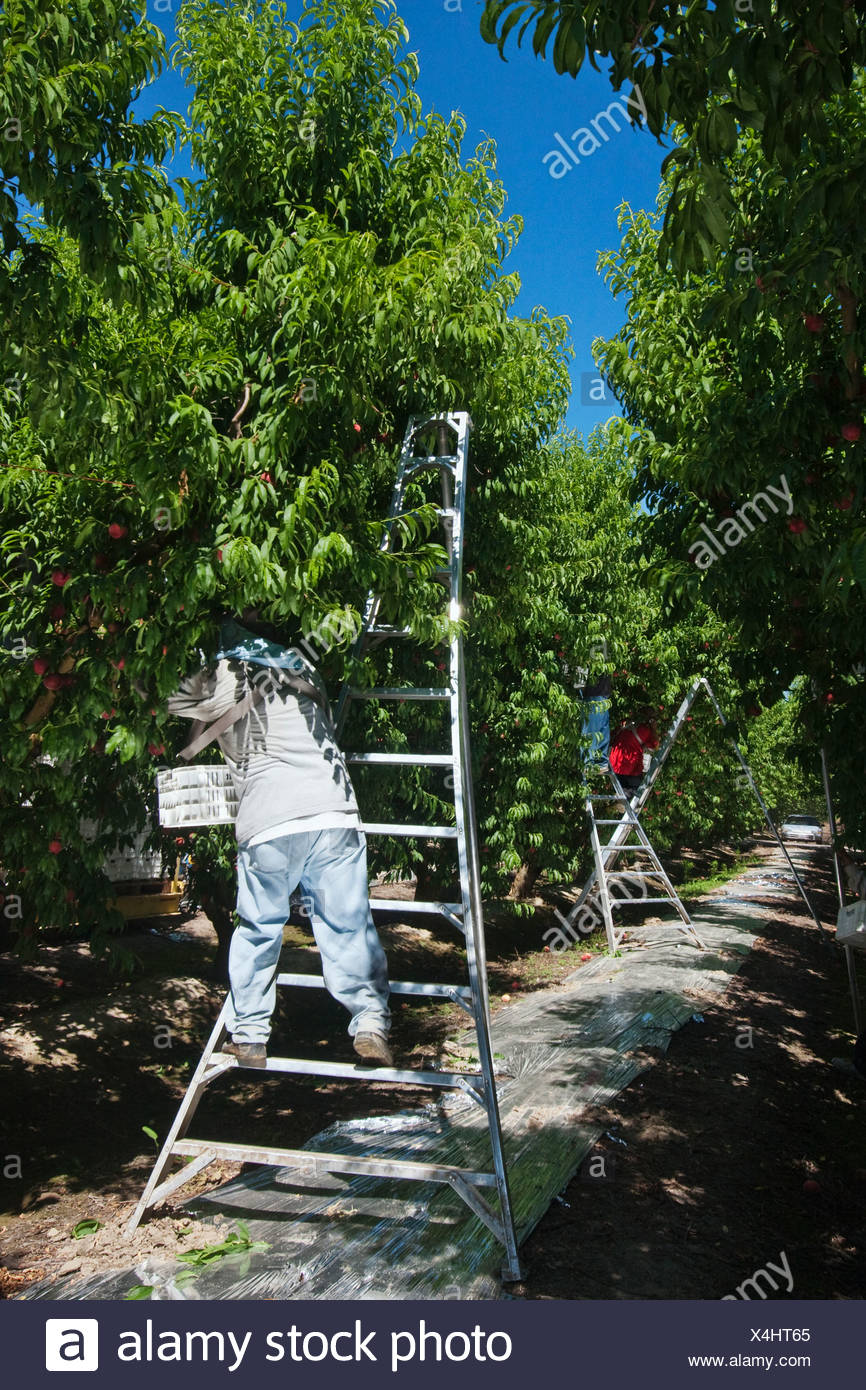 Agriculture - Field workers harvest ripe peaches in an orchard using ladders to reach the fruit / near Dinuba, California, USA. - Stock Image