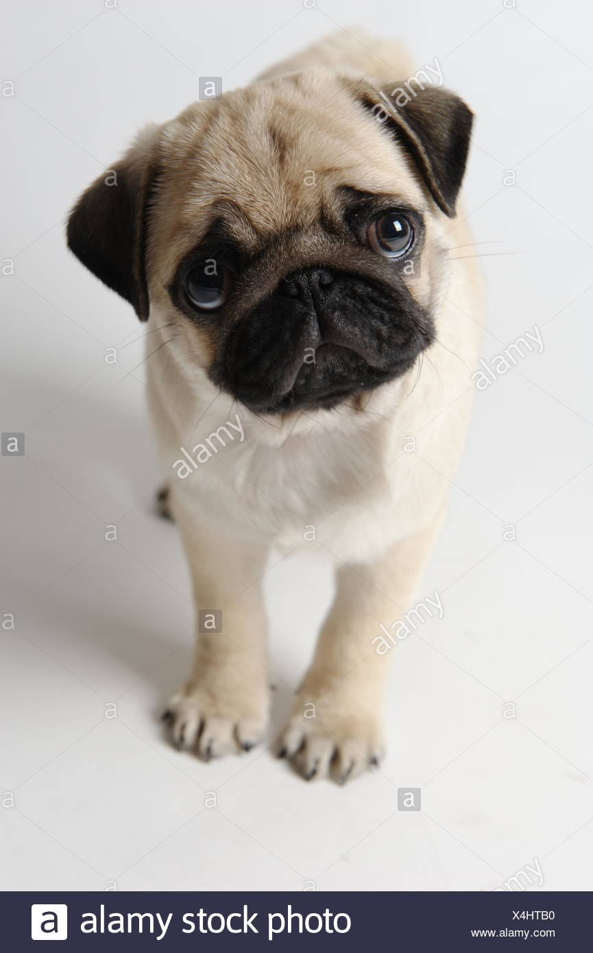 pug frank - Stock Image