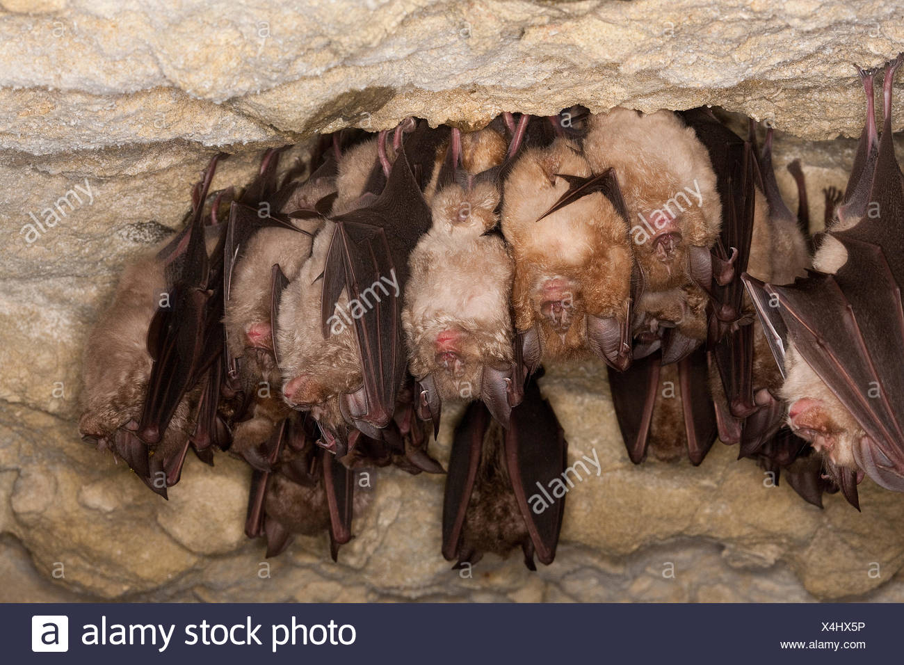 Greater Horseshoe Bat, rhinolophus ferrumequinum, Colony Hibernating, Hanging from Cave's Ceiling, Normandy - Stock Image