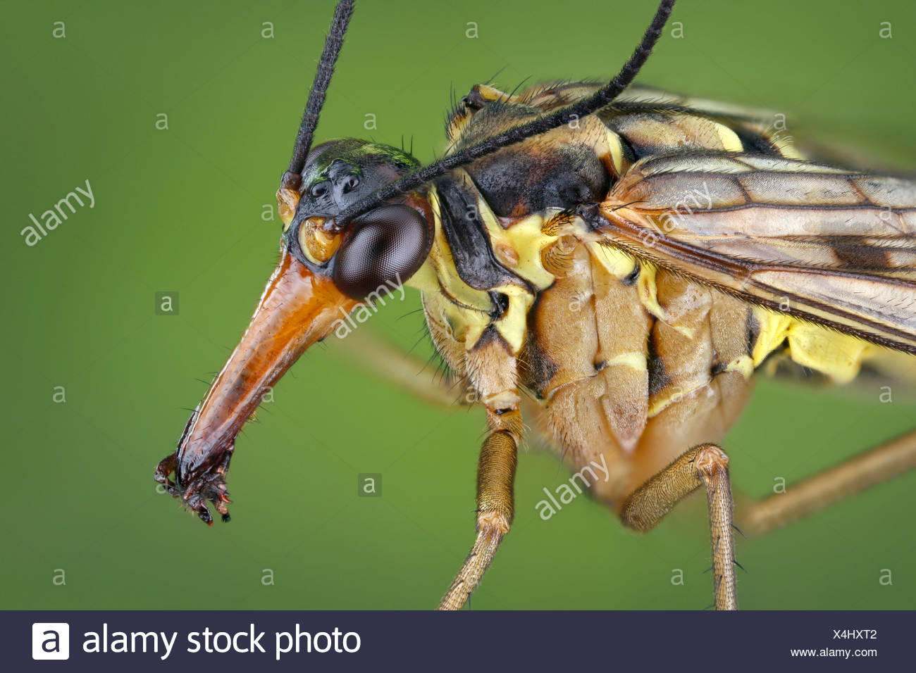 Head of a male scorpionfly (Panorpa communis), extreme close-up Stock Photo