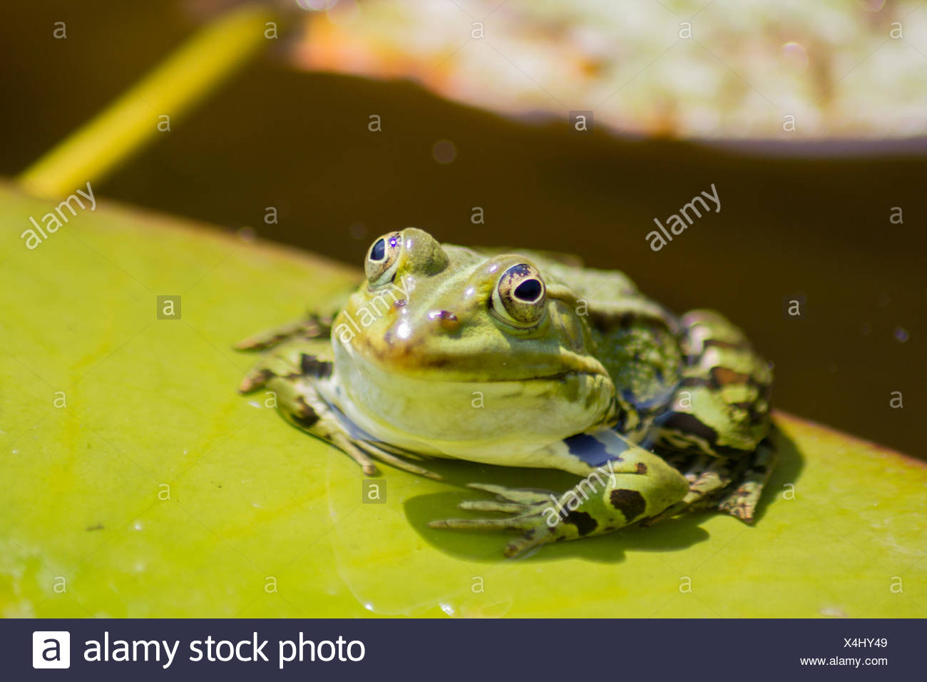 A frog on a water lily - Stock Image