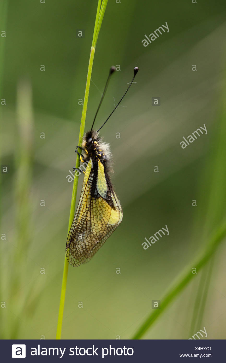 A newly hatched insect clinging to a stalk. - Stock Image