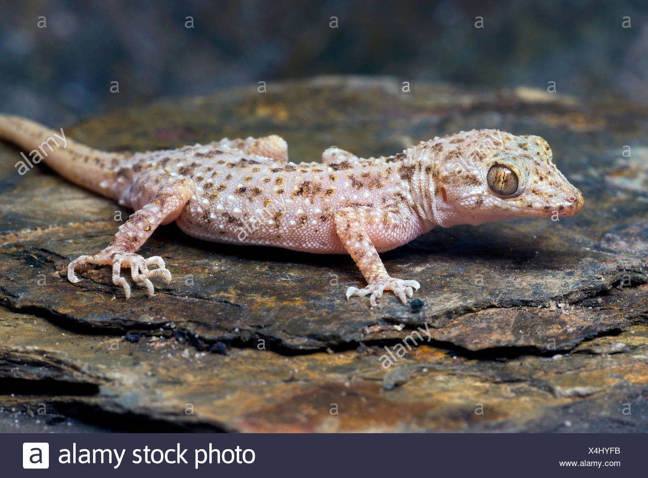 Rough-skinned gecko, Keeled gecko, Bent-toed gecko (Cyrtopodion scaber), on a stone - Stock Image