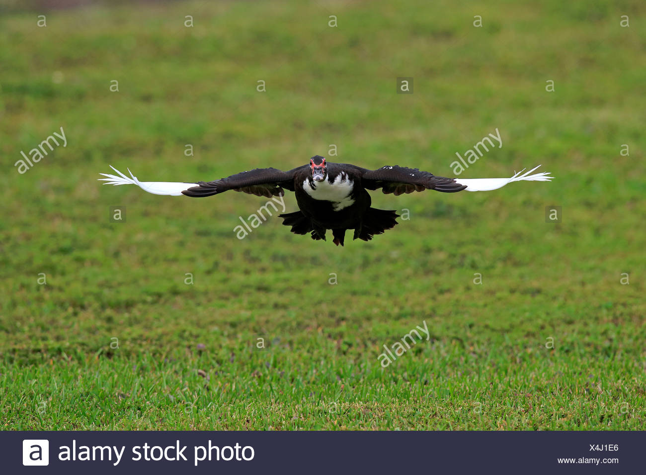 Muscovy Duck, adult flying, Miami, Florida, USA, North