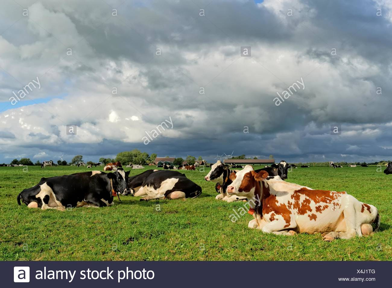 German, Landkreis Leer, Neermoor, Cows in pasture at cloudy day - Stock Image