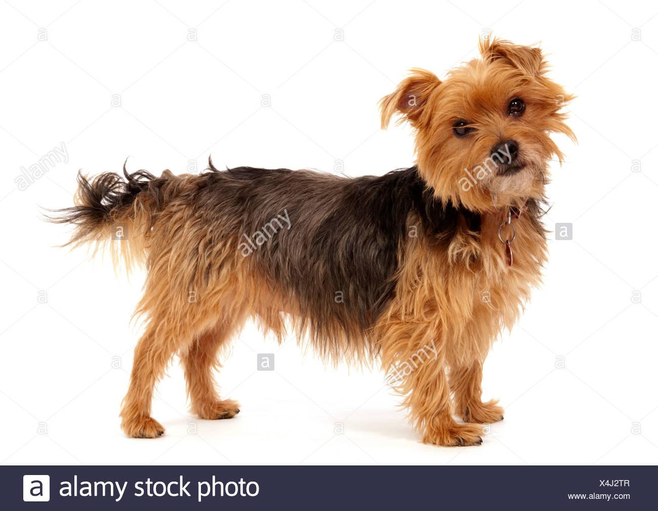 Yorkshire Terrier Dog UK - Stock Image