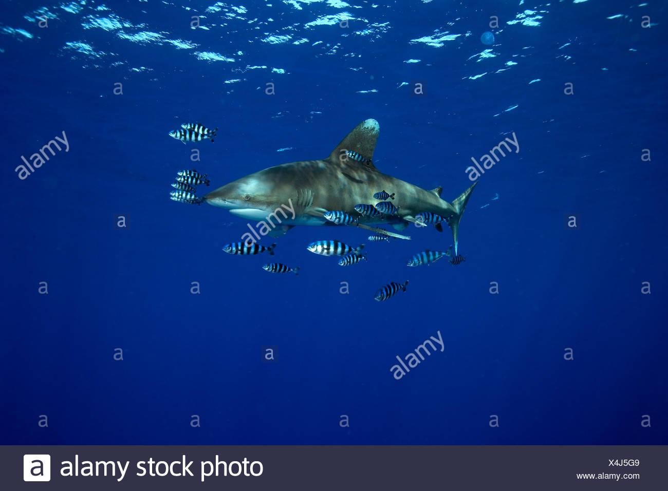 oceanic whitetip shark accompanied by pilot fishes Carcharhinus longimanus Red Sea Egypt - Stock Image