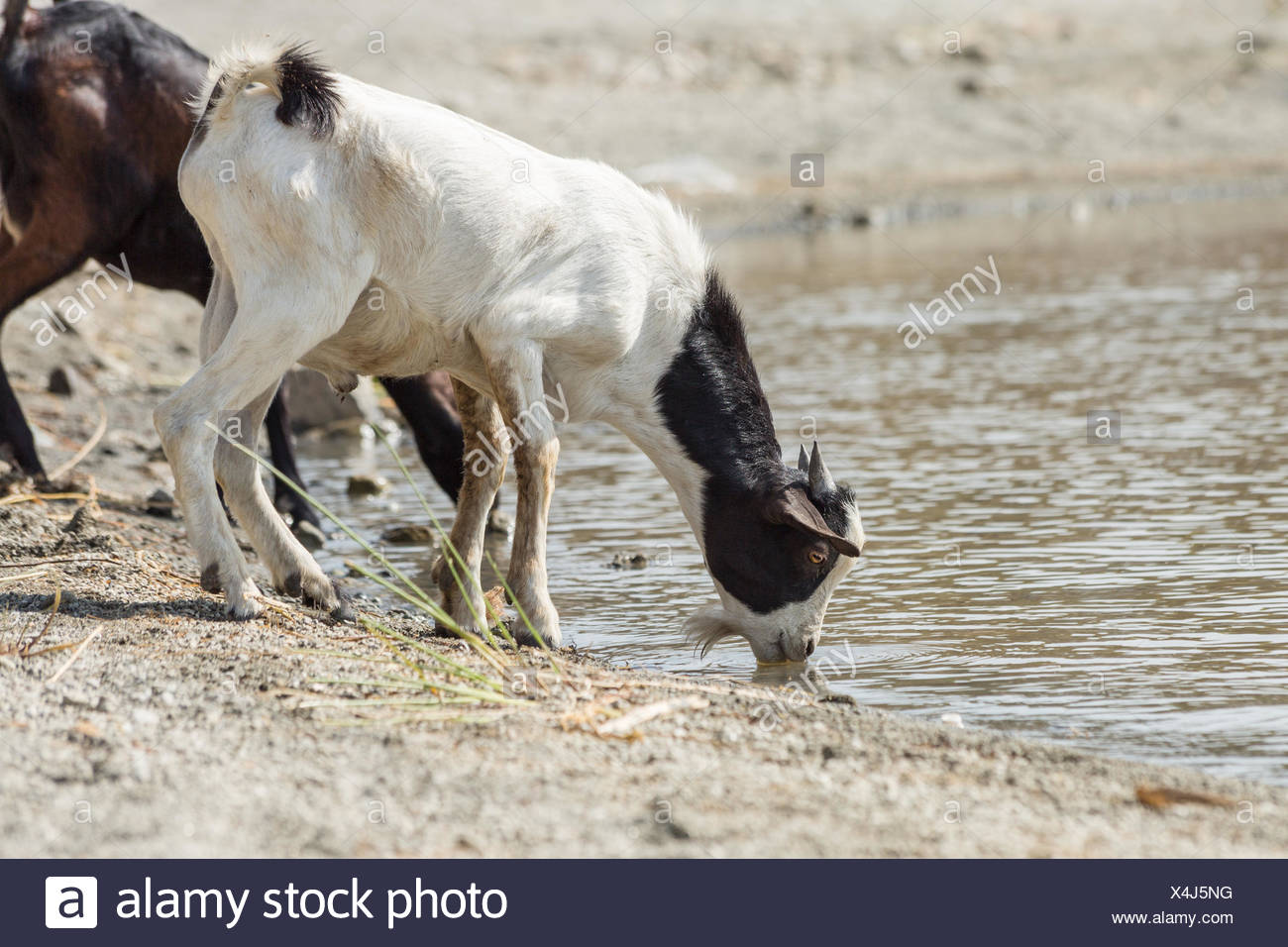 goats drinking water stock photos goats drinking water stock