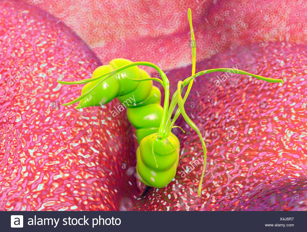 Helicobacter Pylori Bacteria Stock Photo Alamy