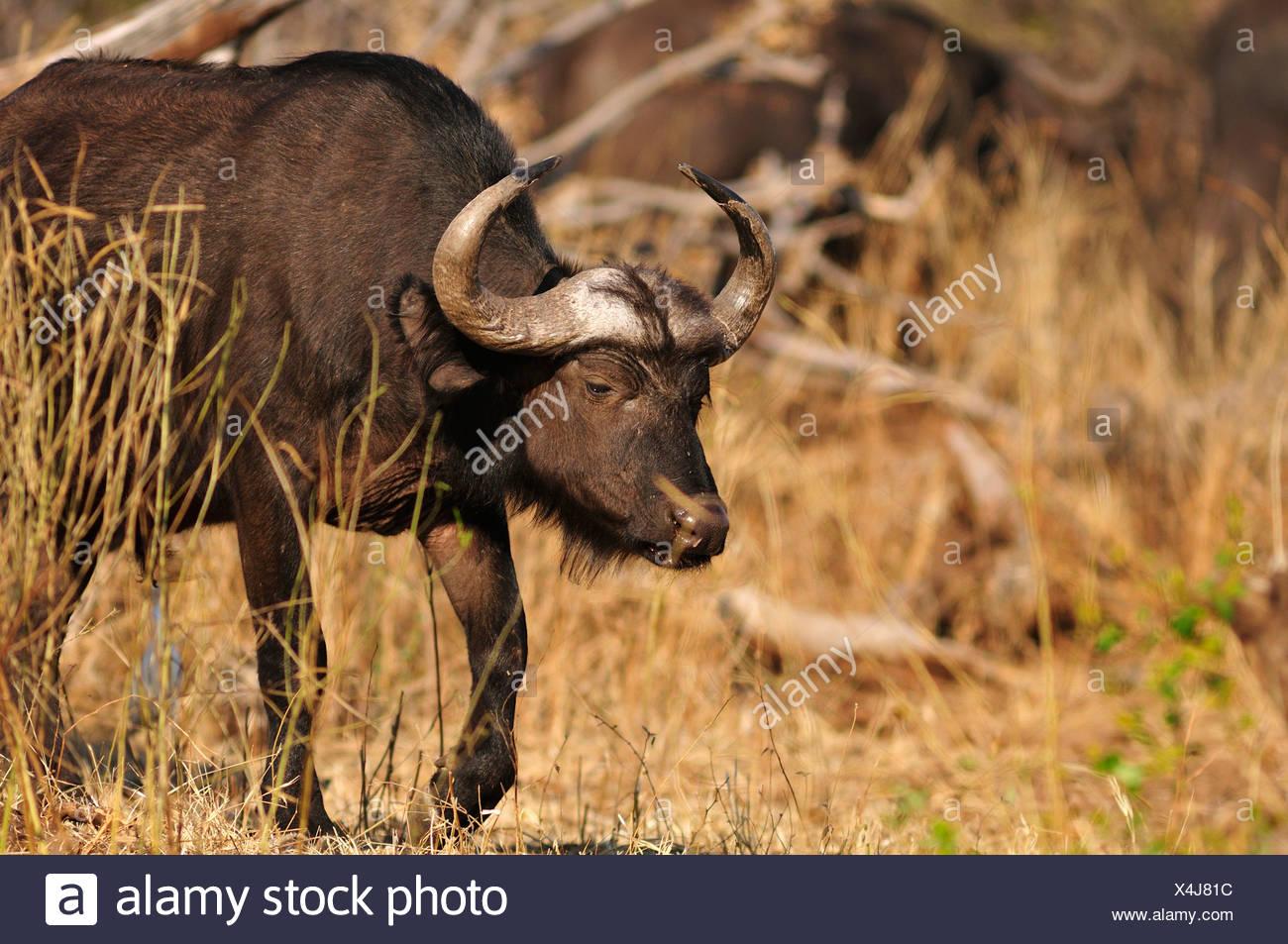 Africa, Botswana, Chobe, National Park, safari, horizontal, wildlife, Buffalo, animal, Syncerus caffer - Stock Image