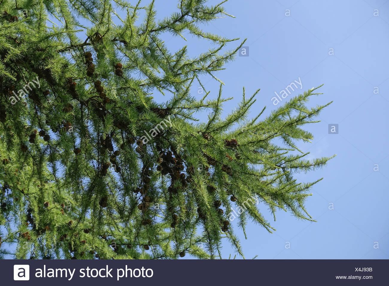 grüne Lärche (Larix) mit Lärchenzapfen, blauer Himmel, green larch (Larix) with larch cones, blue sky, branch, tree, botany, tre - Stock Image