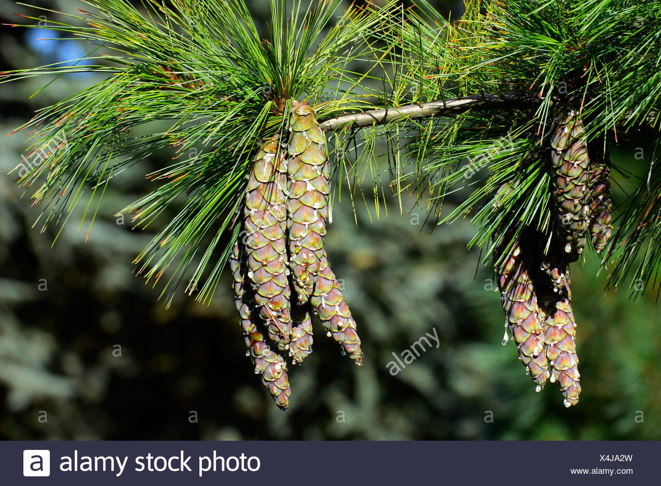 Branch with pine cones - pine tree - conifer (Pinus schwerinii hybrid Fitschen) - Stock Image