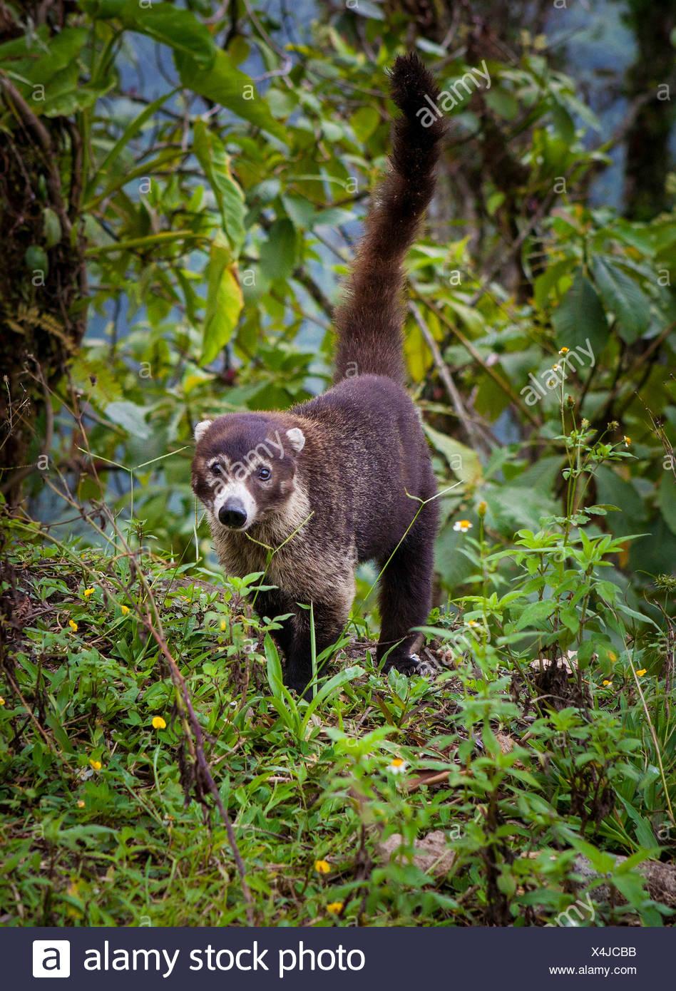 Coati emerges from cloud forest La Fortuna, Costa Rica, Central America - Stock Image