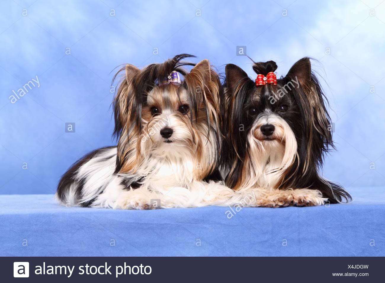 2 Biewer Yorkshire Terriers - Stock Image