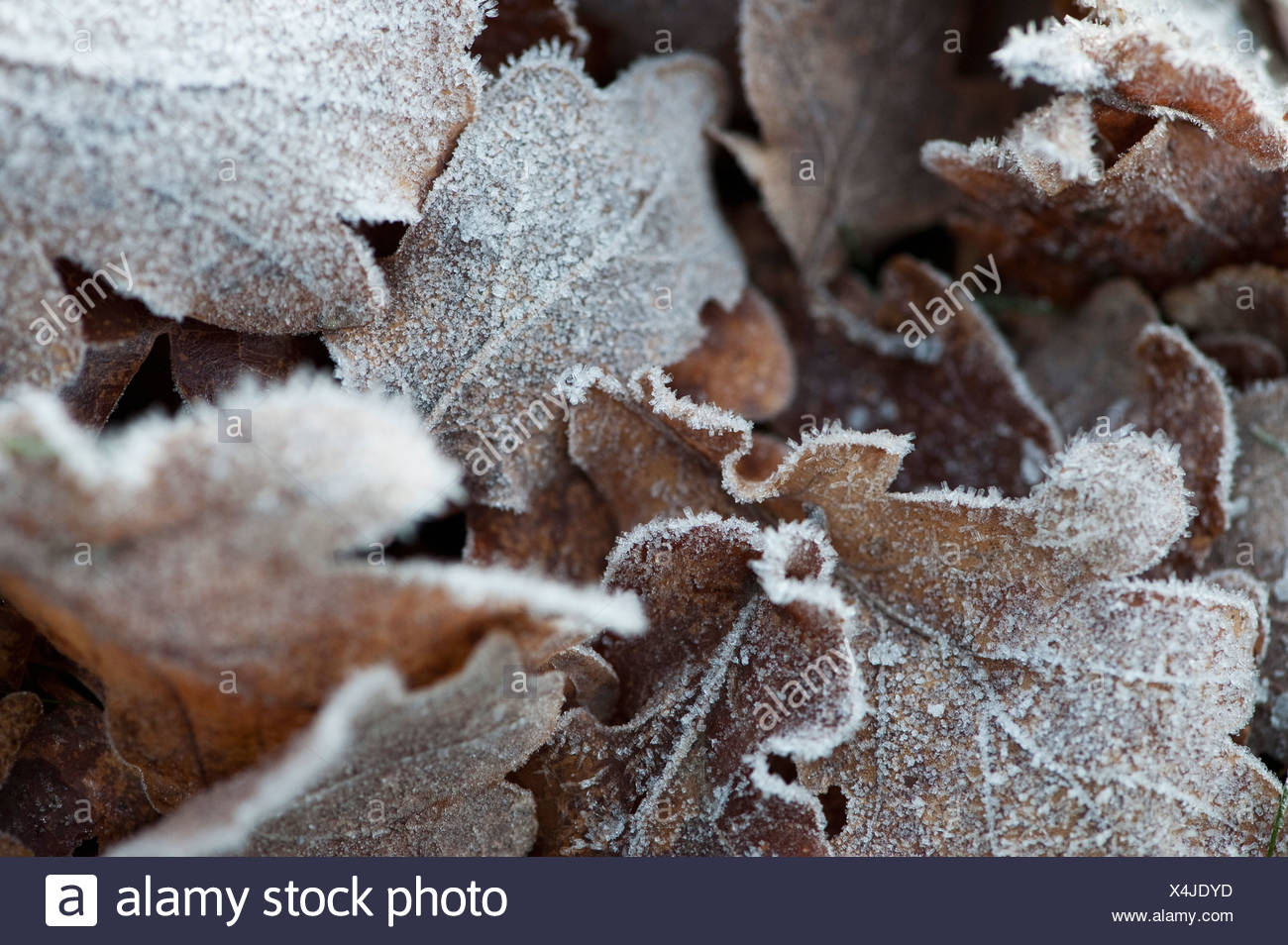 Close-up of frosty leafs - Stock Image